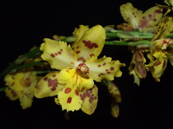 Oncidium [Onc.]  Stirling Tiger